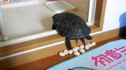這么大的龜,可以產蛋了嗎