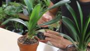 養君子蘭會澆水,澆對水,避免空根爛根致死