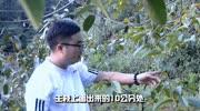 果树修剪技术视频 果树垂柳型修剪技术